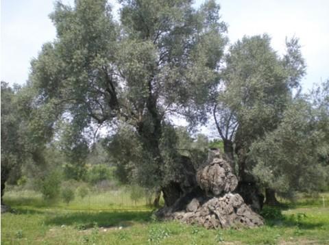 άλσος ελιάς μνημειακά ελαιόδεντρα