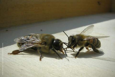 κηφήνας κοινωνία μέλισσας εργάτρια βασίλισσα στιβακτάκης μελισσοκόμος