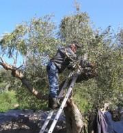 ελιές ελαιόδεντρο πλαφόν άρδευση σητεία πατεράκης νερό