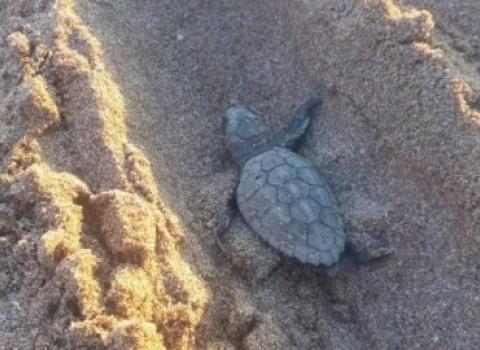 παξινός αρχέλων χελωνάκια caretta