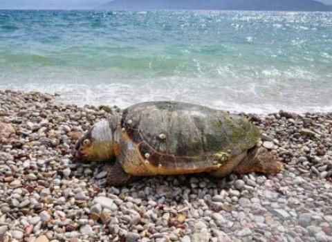 προστασία χελώνα caretta