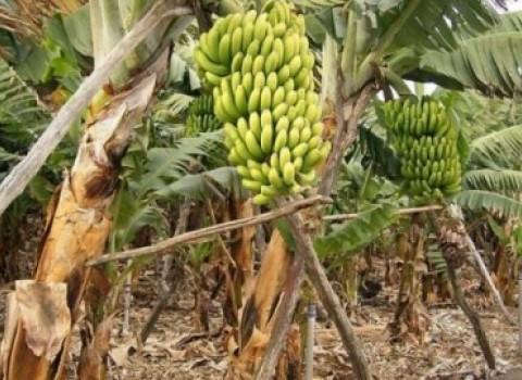 μπανάνα άρβη φεστιβάλ μπαρμπαγαδάκης