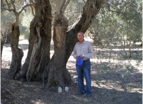 αρχαία ελαιόδεντρα πατεράκης κοπή έγκλημα κουτάκης