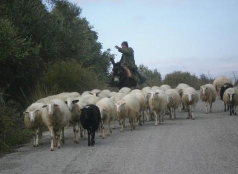 βοσκός κοπάδι πρόβατα