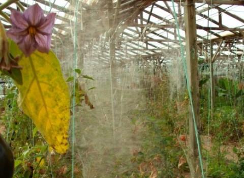 καλλιέργεια χωρίς φάρμακα Καλή Χριστοδουλοπούλου  θερμοκήπια ιεράπετρα τούτα τομάτα