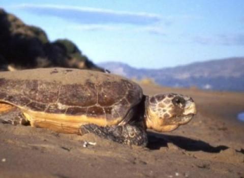 θαλάσσια χελώνα ωοτοκία αθανασία νικολοπούλου αρχελων