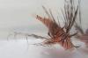 λεοντόψαρο ενυδρείο κρήτης αλιείς αγκάθια δηλητήριο