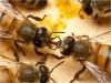 μουσείο φυσικής ιστορίας μέλισσες